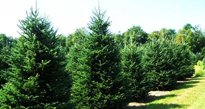Χριστουγεννιάτικων δέντρων