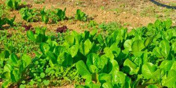 λαχανόκηπο